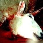 Verbot von Koscher- und Halal-Schlachtung vom Europäischen Gerichtshof bestätigt